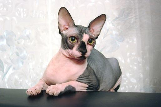 Главная  форумы  породы кошек  голопопики  канадские сфинксы питомника heavenly cats  re:re: канадские сфинксы